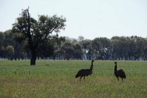 Emus, Mitchell Highway