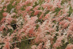 Pink grass hides a railway track in outback Queensland